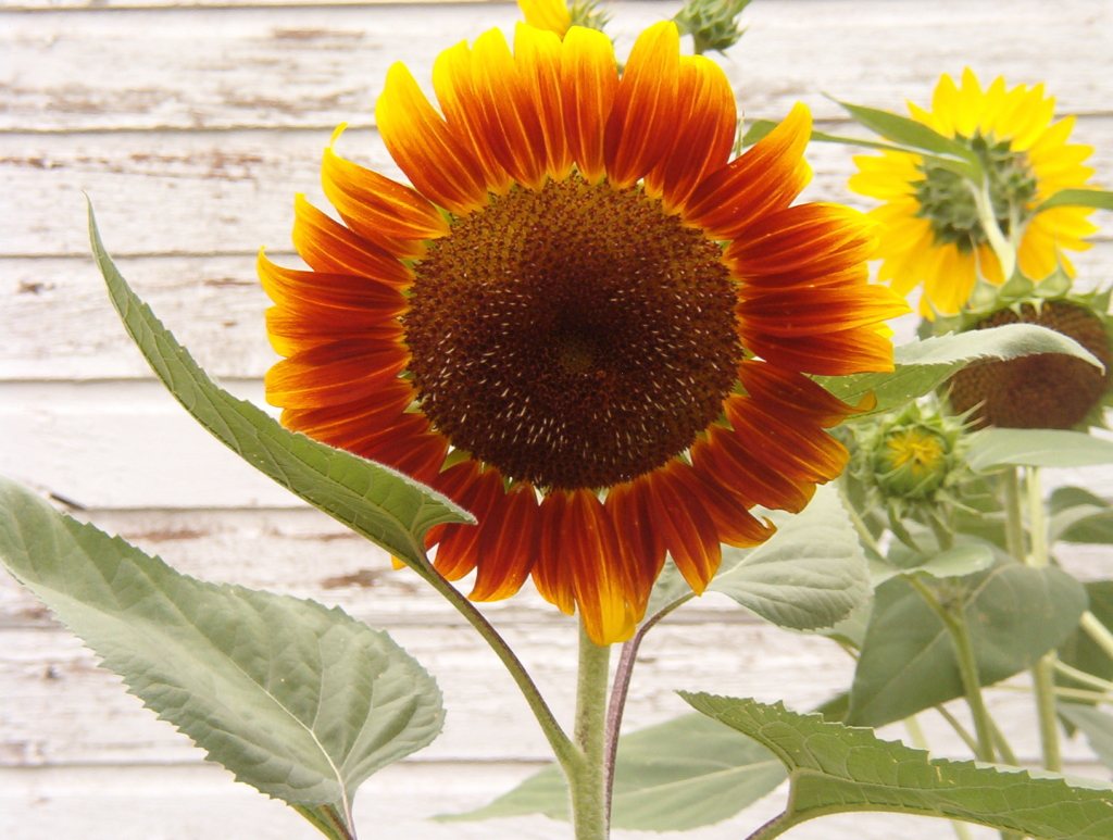 Red and yellow sunflower with a white barn background.