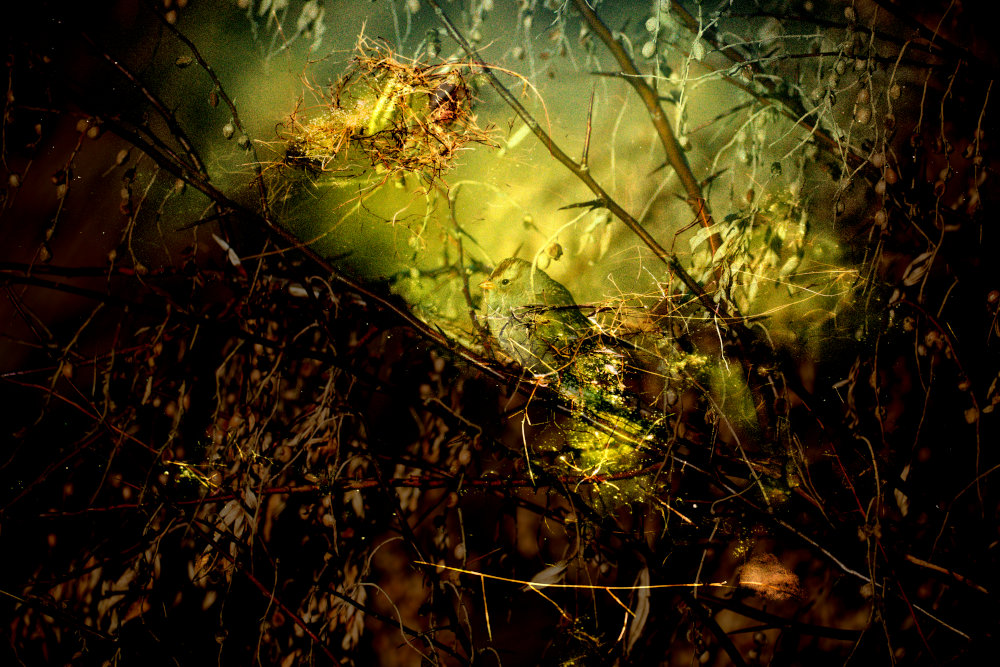 Multiple exposure showing songbird in thorny bush with green background.