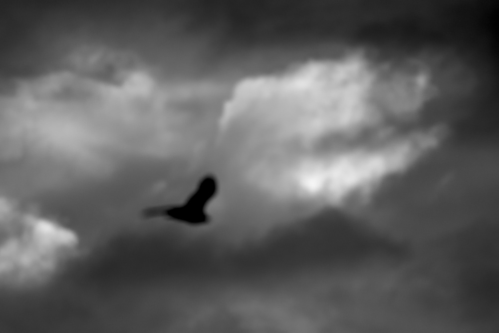 Black and white silhoutte of a raptor flying with clouds in the background.
