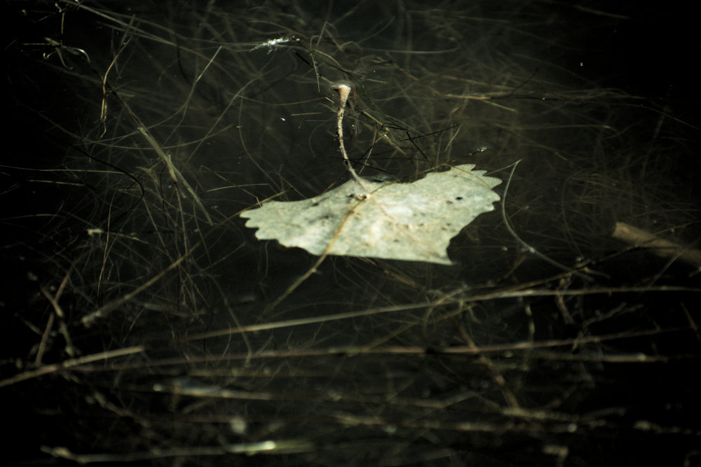 Leaf floating in lake water amongst plant growth.