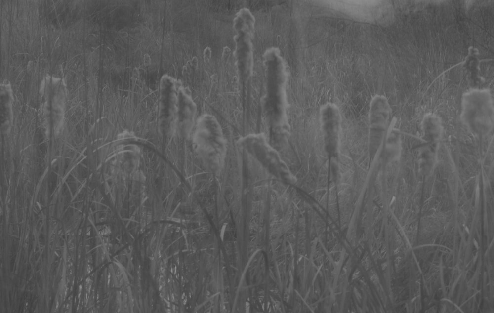 Old cattails near the edge of a pond.